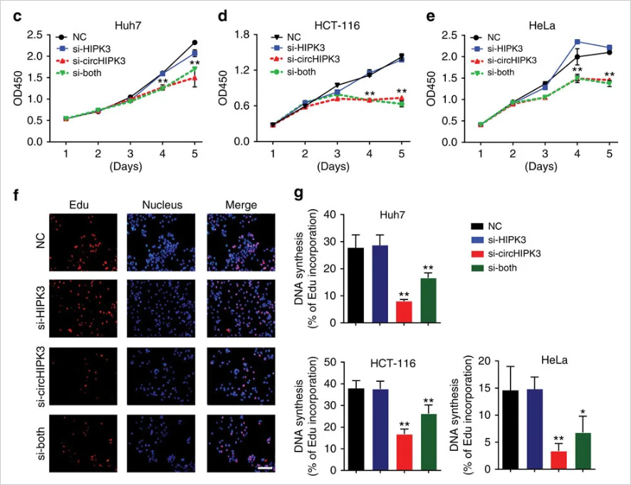 Cell proliferation and apoptosis were detected by CCK-8 and EdU assays. The results showed that the knockdown circ-HIPK3 significantly inhibited cell proliferation.